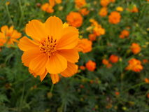 Cosmos sulphureus Stock Photo