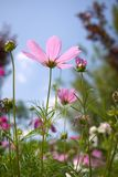 Cosmos in summer Stock Images