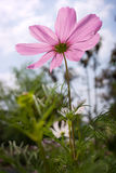 Cosmos in summer. The colorful cosmea in a private garden Stock Photography