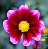A Cosmos. This is a Summer picture of a Cosmos at full bloom in the Chicago Botanic Garden located in Glencoe, Illinois in Cook County. This picture was taken on royalty free stock images