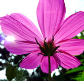 Cosmos and the sunlight. Cosmos flower with the sunlight jewel royalty free stock photography
