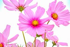 Cosmos a very beautiful flower in Spring in pink color. stock photos
