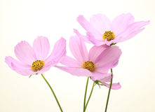 Cosmos in a white background Stock Images