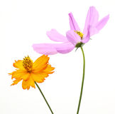 Cosmos in a white background Royalty Free Stock Image