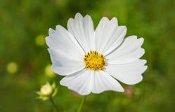 Cosmos white flower. On the garden stock photos