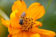 Cosmos y abeja Imagen de archivo libre de regalías