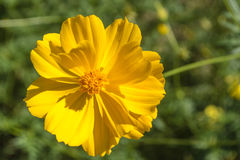 Cosmos yellow beautiful flower. Cosmos species of Cosmos is considered a half-hardy annual, although plants may re-appear via self-sowing for several years Stock Image