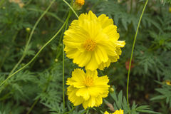Cosmos yellow beautiful flower. Cosmos species of Cosmos is considered a half-hardy annual, although plants may re-appear via self-sowing for several years Royalty Free Stock Image