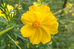 Cosmos yellow beautiful flower. Cosmos species of Cosmos is considered a half-hardy annual, although plants may re-appear via self-sowing for several years Royalty Free Stock Photography