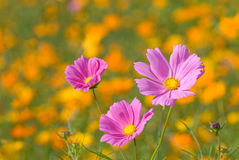 Cosmos and Yellow Cosmos Royalty Free Stock Photography
