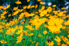 Cosmos yellow flower blooming beautiful Royalty Free Stock Photography