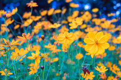 Cosmos yellow flower blooming beautiful Royalty Free Stock Images