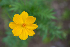 Cosmos yellow flowers bloom in garden Royalty Free Stock Photos
