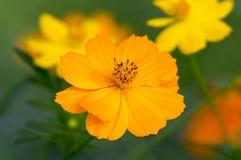 Cosmos. Yellow cosmos in gardens stock photo