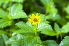 Cosmos yellow plant Compositae Royalty Free Stock Photo