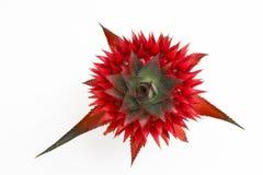 Cosomus Pineapple Stock Images