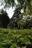 Cossack juniper in a botanical garden against a background of ta. Ll, atlased cedar . For your design royalty free stock images