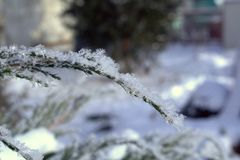Cossack juniper on a cold winter morning. Snow on the branches close up Royalty Free Stock Photography
