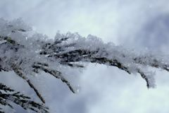 Cossack juniper on a cold winter morning. Snow on the branches close up Royalty Free Stock Image