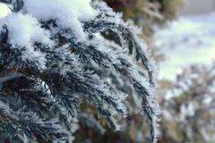 Cossack juniper on a cold winter morning. Snow on the branches close up Royalty Free Stock Photos