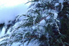 Cossack juniper on a cold winter morning. Snow on the branches close up Stock Photos