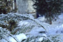 Cossack juniper on a cold winter morning. Snow on the branches close up Stock Images