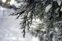 Cossack juniper on a cold winter morning. Snow on the branches close up Stock Photography