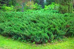 Cossack juniper  lat. Juniperus sabina. Siberia, Russia Royalty Free Stock Photo