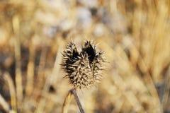 Cosse épineuse de graine de stramonium de datura Également connu comme mauvaise herbe et Thorn Apple de Jimson Indigène aux Etats image stock