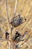 Cosse épineuse de graine de stramonium de datura Également connu comme mauvaise herbe et Thorn Apple de Jimson Indigène aux Etats photo libre de droits