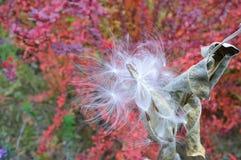 Cosse commune de graine de milkweed - follicule photographie stock libre de droits