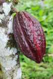 Cosse de cacao d'Arriba en Equateur Photos stock