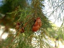 Cosse de cigale sur la branche Photo libre de droits