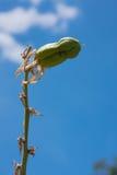Cosse de graine d'usine de yucca photographie stock libre de droits