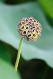Cosse de graine de lotus Photo stock