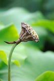 Cosse de graine de lotus Image libre de droits
