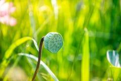 Cosse de graine de lotus Images stock