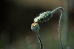 Cosse de graine et bourgeon floral Photos libres de droits