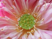 Cosse de la fleur de lotus Image libre de droits
