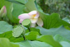Cosse de Lotus Photo stock