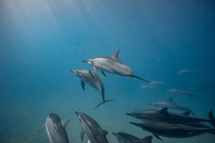 Cosse des dauphins sauvages sous-marins image stock