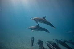 Cosse des dauphins sauvages sous-marins images libres de droits
