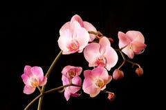Cosse des orchidées de floraison Image libre de droits