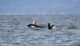 Cosse du ` résident s d'orque de la côte près de Sechelt, AVANT JÉSUS CHRIST Photo stock