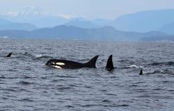 Cosse du ` résident s d'orque de la côte près de Sechelt, AVANT JÉSUS CHRIST Photographie stock