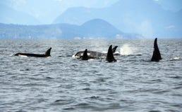 Cosse du ` s d'orque de 5 résidents de la côte près de Sechelt, AVANT JÉSUS CHRIST Image stock
