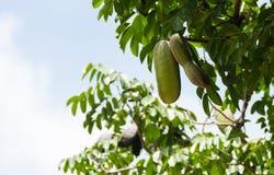 Cosse et graine de xylocarpa d'Afzelia sur l'arbre photographie stock