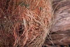 Cosse II de noix de coco Images libres de droits