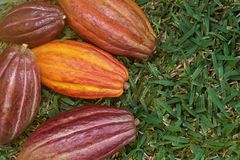 Cosses colorées de fruit de cacao Image stock