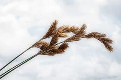 Cosses d'herbe Photo libre de droits